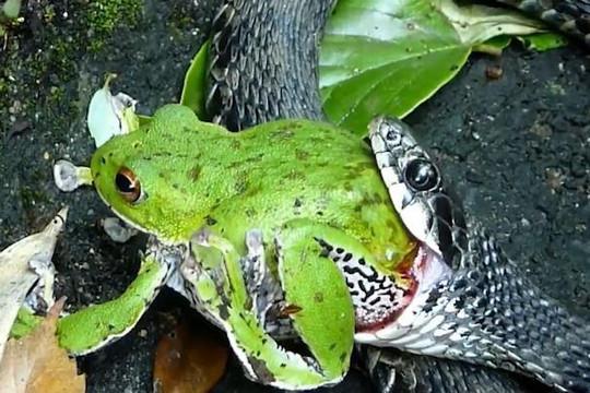 Ếch xanh dùng chiêu độc khiến rắn không nuốt được mình