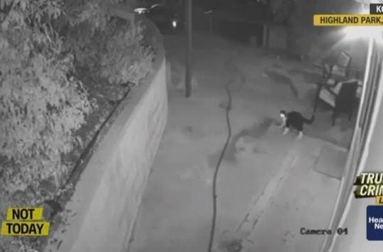 Mèo nhà một mình đánh đuổi 3 con sói đồng chạy trối chết