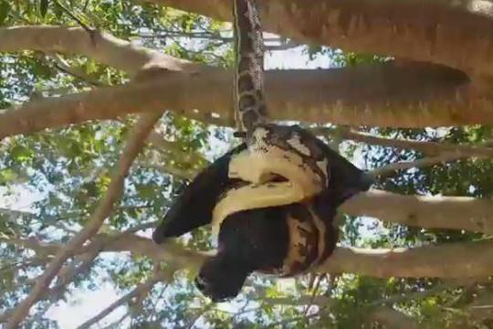 Rùng mình cảnh trăn thảm treo ngược trên cây, cố nuốt chửng dơi 'khủng'