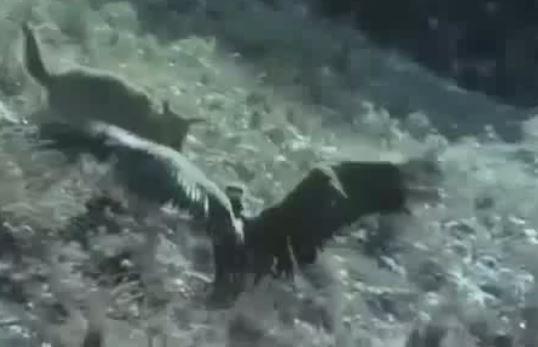 Tấn công chó sói khi bị cướp mồi, kền kền nhận cái kết đau đớn