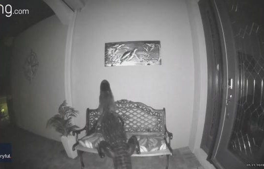 Rùng mình cảnh cá sấu mò vào nhà dân kiếm ăn lúc rạng sáng