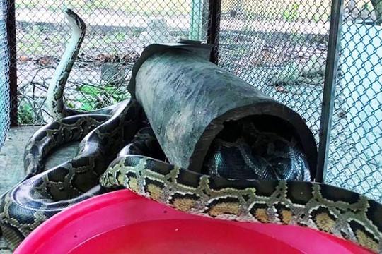 Cá thể trăn gấm quý hiếm nặng 13kg được giao về Vườn quốc gia Vũ Quang