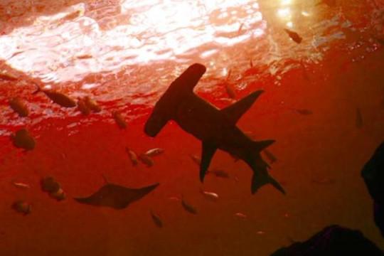 Bí ẩn loài cá mập sống ở nơi khắc nghiệt nhất Trái đất