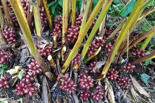 Cây thảo quả Vị Xuyên, nguồn dược liệu 'xóa đói giảm nghèo' của người vùng cao