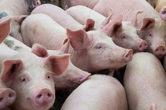 Giá lợn hơi giảm sâu: Chủ trang trại lo lỗ, thương lái vẫn lãi