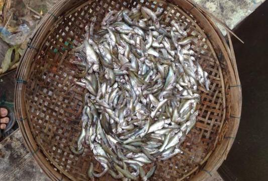 An Giang: Đặc sản cá linh non đã ra chợ, giá cao ngất ngưởng