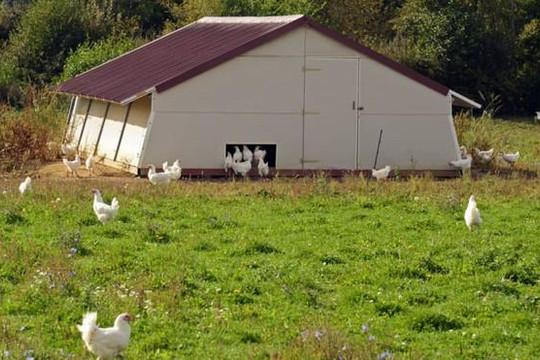 Những giống gà đắt đỏ trên thế giới, được xem là 'quốc bảo'