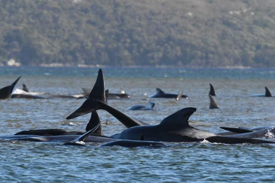 Hơn 380 con cá voi mắc cạn ven đảo Tasmania đã chết