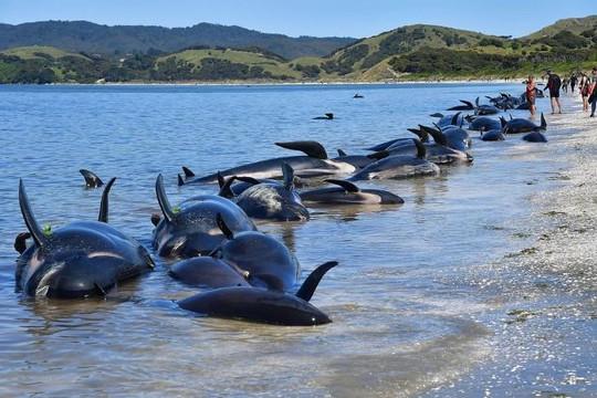 Bí ẩn việc cá voi mắc cạn chết hàng loạt