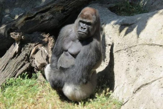 Khỉ đột đực tấn công khiến nhân viên vườn thú bị thương nặng