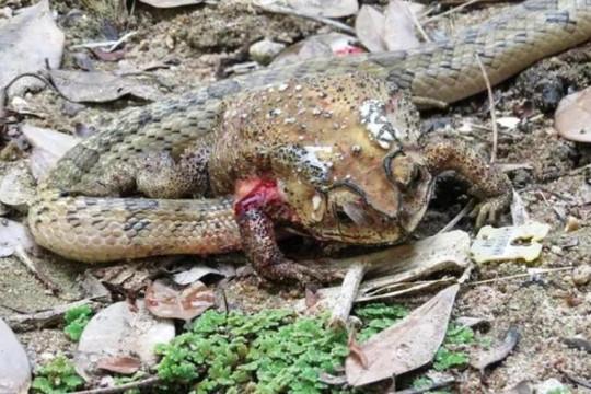 Loài rắn chuyên xẻ thịt và ăn nội tạng của cóc khi còn sống