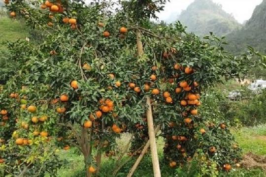 Bảo hộ chỉ dẫn địa lý cho sản phẩm cam sành 'Hàm Yên'