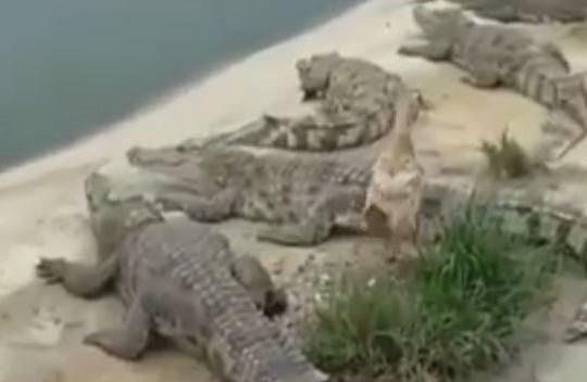 Vịt thoát chết trong gang tấc khi đi lạc vào hồ đầy cá sấu