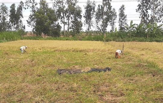 Hàng ngàn héc-ta lúa bị đổ ngã do mưa kéo dài