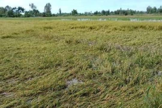 Cần Thơ: UBND huyện Thới Lai phản hồi bài viết 'Chủ tịch xã vô cớ cản dân thu hoạch lúa'