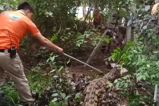 """Clip cá sấu """"khủng"""" trèo qua hàng rào nhà dân để bắt gà"""