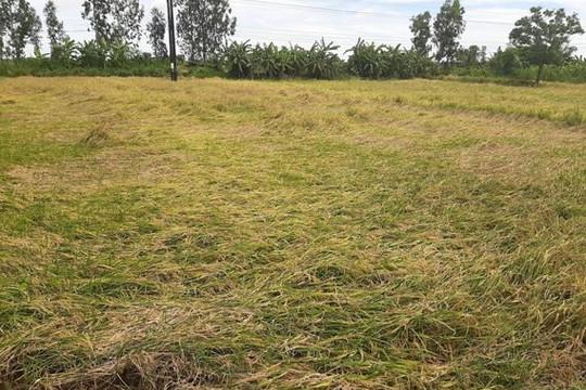 Trên 4.000 héc-ta lúa bị đổ ngã do mưa lớn