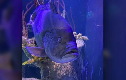 Cá mú rơi vào trầm cảm sau khi ăn hết bạn cùng hồ