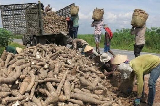 Phụ thuộc vào Trung Quốc, cây sắn Việt Nam chịu rủi ro