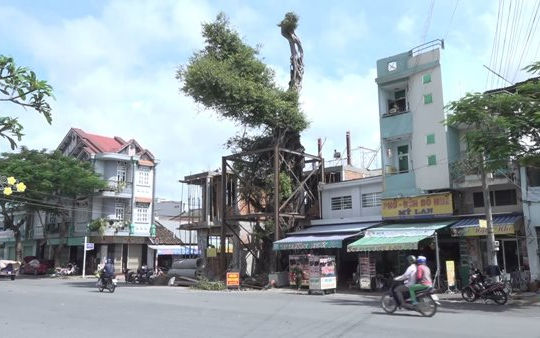 Đồng Tháp: Chi hơn nửa tỉ đồng để bảo tồn cây da 100 tuổi