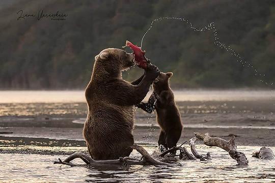 Gấu nâu trưởng thành ăn thịt con non vì thiếu mồi