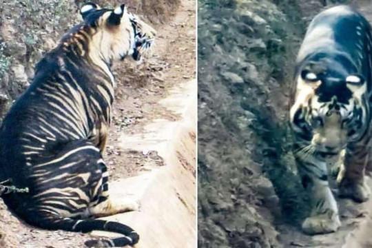Phát hiện hổ đen quý hiếm trong khu bảo tồn ở Ấn Độ