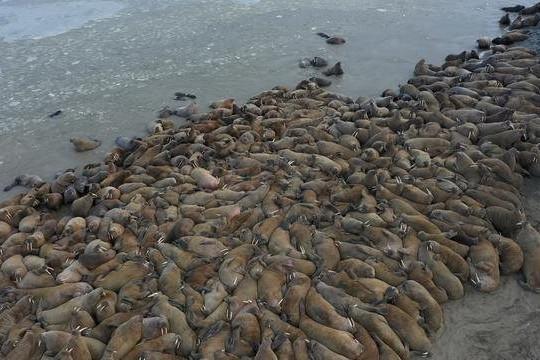 Video hàng nghìn con hải mã tụ tập trên bờ biển ở Nga