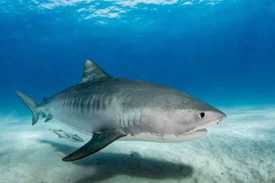 Nhà khoa học bị cá mập hổ tấn công, cắn nhiều nhát vào đùi