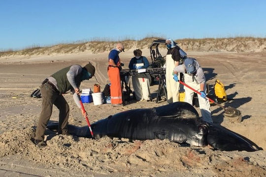 Phát hiện cá voi quý hiếm chết trên bãi biển Mỹ