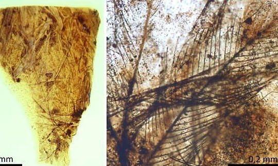Phát hiện lông chim 110 triệu năm tuổi trong hổ phách