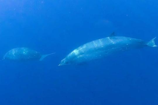 Phát hiện loài cá voi mới ngoài khơi Mexico