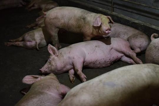 Dịch tả lợn châu Phi có biến thể