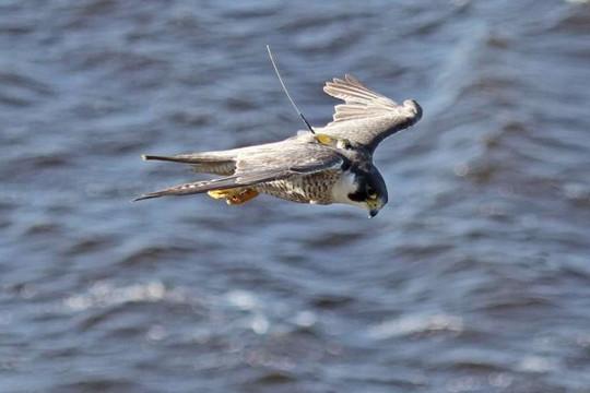 Các nhà khoa học tìm thấy bằng chứng về 'gien di cư' ở loài chim