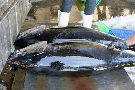 Đứt chuỗi cung ứng toàn cầu khiến xuất khẩu cá ngừ Việt Nam giảm mạnh