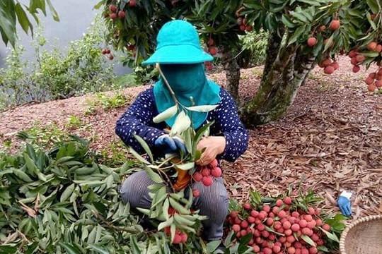 Bà con lo không tiêu thụ được nông sản khi đến vụ thu hoạch do COVID-19, Vụ thị trường nói gì?