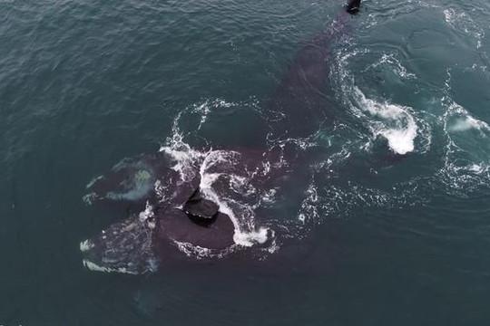 Video hiếm có cho thấy cá voi trơn 'ôm nhau' trên biển