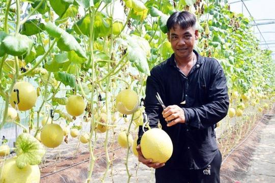 Cà Mau: COVID-19 khiến trái dưa lưới VietGAP cũng 'khốn khổ'