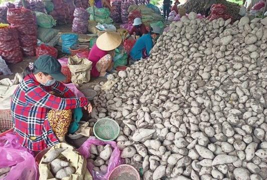 Vĩnh Long: Giá khoai lang lại rớt thảm, nông dân khóc ròng