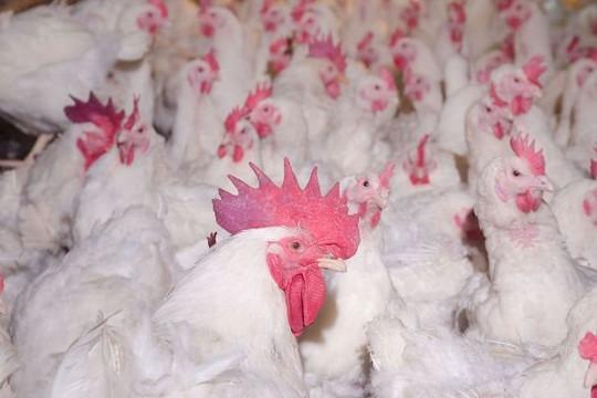 Khó khăn nông sản mùa dịch: 7.000 đồng/kg gà lông trắng, hàng triệu gà con giống phải đốt bỏ