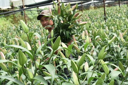 Hoa bán không ai mua, nông dân Đà Lạt nhổ bỏ chuyển sang trồng rau