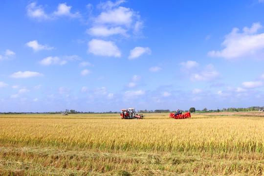 Sản xuất và tiêu thụ lúa gạo tại ĐBSCL đang gặp khó