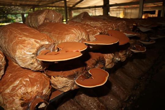 Thừa Thiên - Huế làm giàu từ mô hình trồng nấm linh chi công nghệ cao