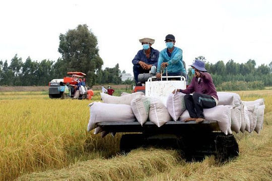 Ngân hàng tính cho ngành lúa gạo vay tiền không cần tài sản đảm bảo